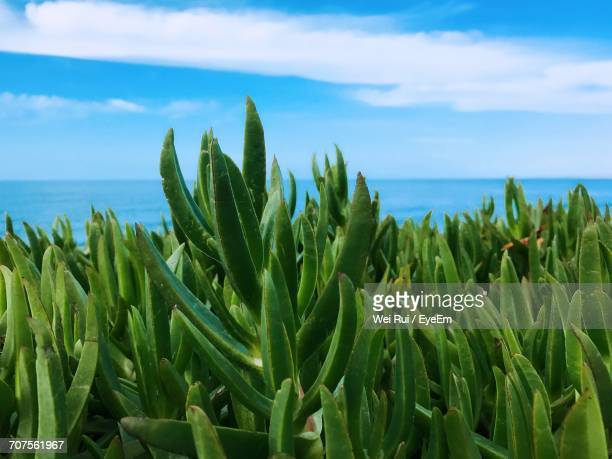 plants growing on field by sea against blue sky - la jolla stock pictures, royalty-free photos & images