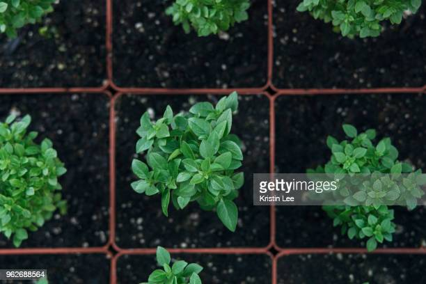 plants in pots - basil stock pictures, royalty-free photos & images