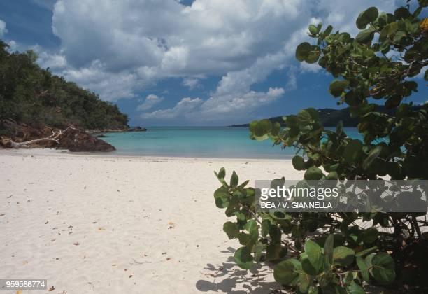 Plants of seagrape Magens Bay Saint Thomas Island US Virgin Islands United States of America