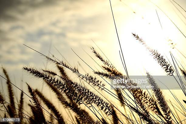 plants on field against cloudy sky - reed grass family stock photos and pictures