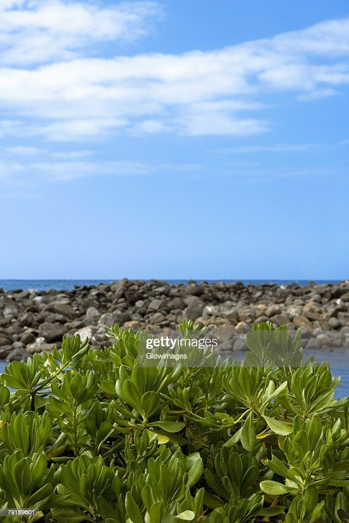 Plants on the beach, Pololu Valley, Kohala, Big Island, Hawaii Islands, USA : Foto de stock