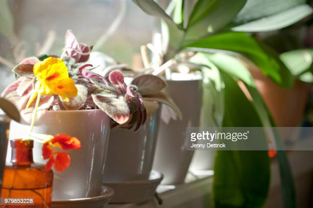 plants on window sill - nasturtium stock pictures, royalty-free photos & images
