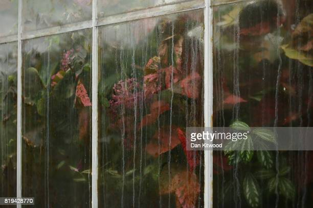 Plants push against the glass in the Waterlily House at Kew Gardens on July 20 2017 in London England