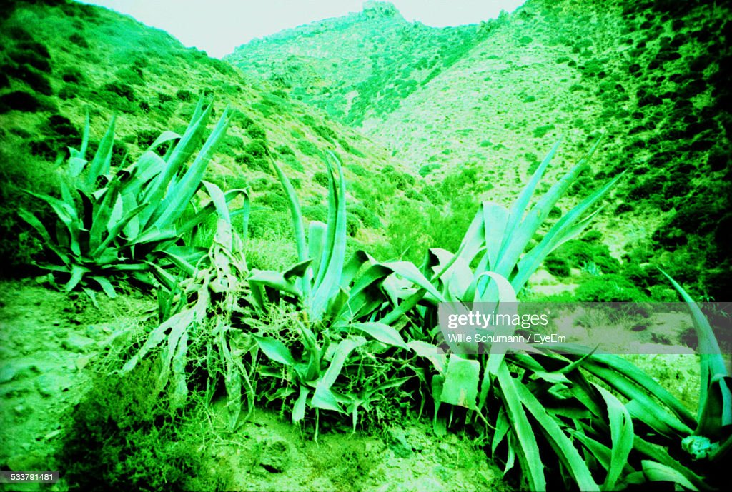 Plants With Long Leaves Growing On Hillside : Foto stock