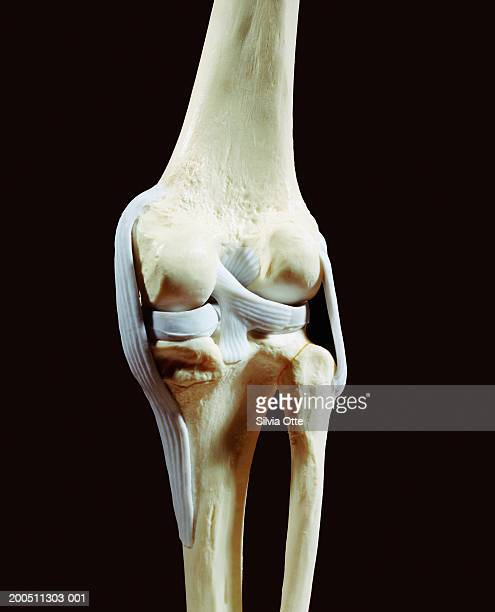Plastic knee model, rear view