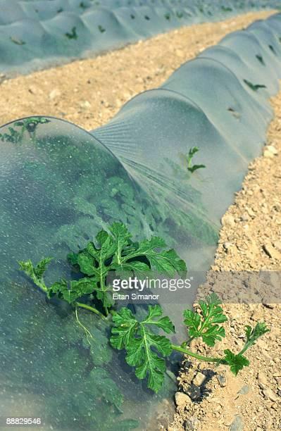 Plastic protecting crops , Qumran , Israel