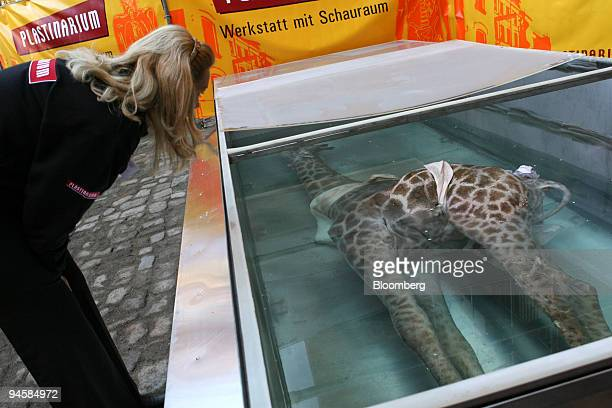 Plastinarium employee Oksana Vlasyuk looks at a giraffe just placed in formaldehyde in preparation for plastination at the opening of the...