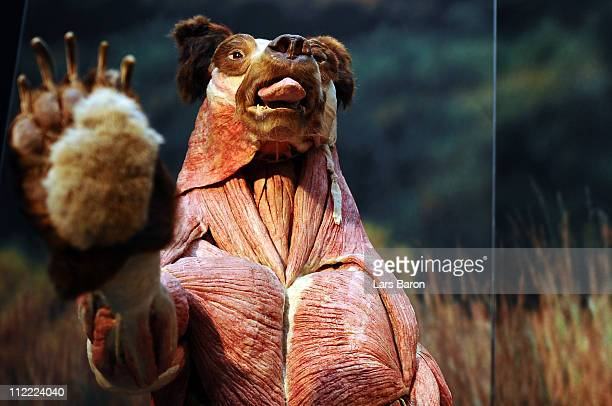 Plastinated bear is seen on the opening day at the Body World Animals exhibition at the Cologne Zoo on April 15, 2011 in Cologne, Germany. The...