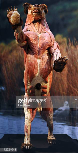 A plastinated bear is seen on the opening day at the Body World Animals exhibition at the Cologne Zoo on April 15 2011 in Cologne Germany The...
