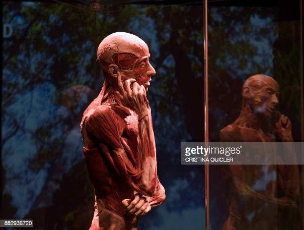 TOPSHOT A plastinated body of a person is on display at the 'Casino de la Exposicion' cultural center in Seville on November 30 on the eve of the...