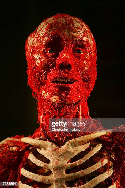 A plastinated cadaver displaying the human arterial sytem is displayed at BODY WORLDS 4 by Professor Gunther Von Hagens at Manchester Museum of...