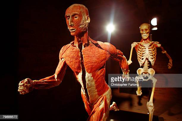 A plastinated cadaver greets visitors to the exhibition BODY WORLDS 4 by Professor Gunther Von Hagens at Manchester Museum of Science and Industry on...