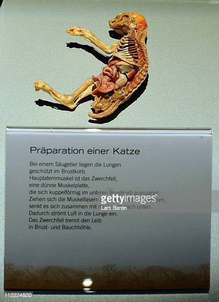 A plastinated cat is seen on the opening day at the Body World Animals exhibition at the Cologne Zoo on April 15 2011 in Cologne Germany The...
