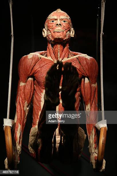A plastinated corpse is seen on display on the opening day of the Bodyworlds exhibition in the Menschen Museum on February 18 2015 in Berlin Germany...