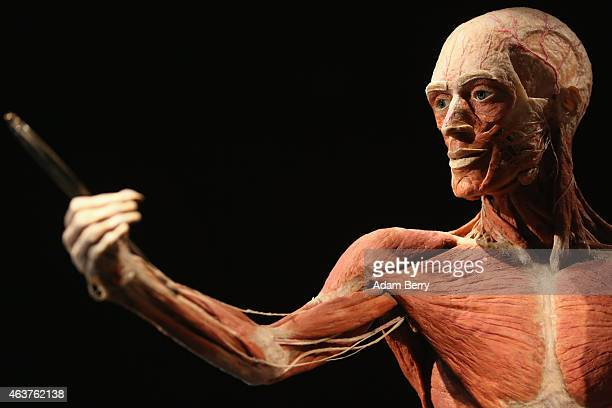 A plastinated corpse looks into a mirror on the opening day of the Bodyworlds exhibition in the Menschen Museum on February 18 2015 in Berlin Germany...