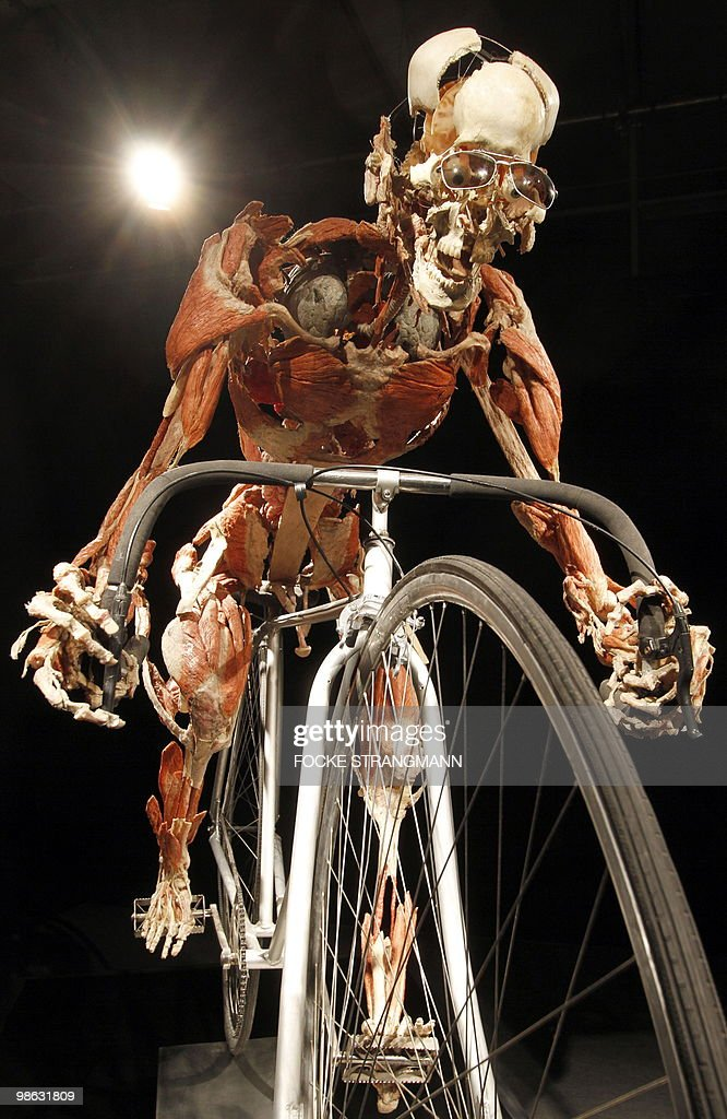 A plastinated cyclist sculpture is pictu