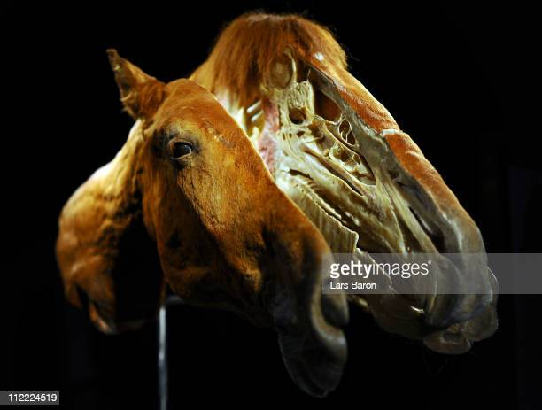 Plastinated head of a horse is seen on the opening day at the Body World Animals exhibition at the Cologne Zoo on April 15, 2011 in Cologne, Germany....