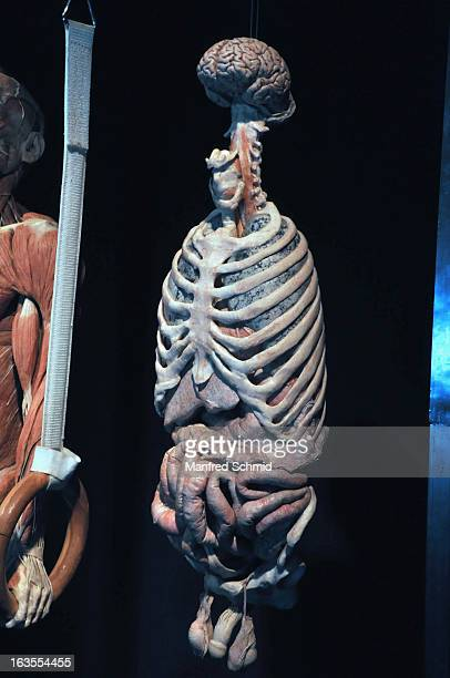 A plastinated human body is on display during a press conference for 'Koerperwelten und der Zyklus des Lebens' exhibition by German anatomist Gunther...