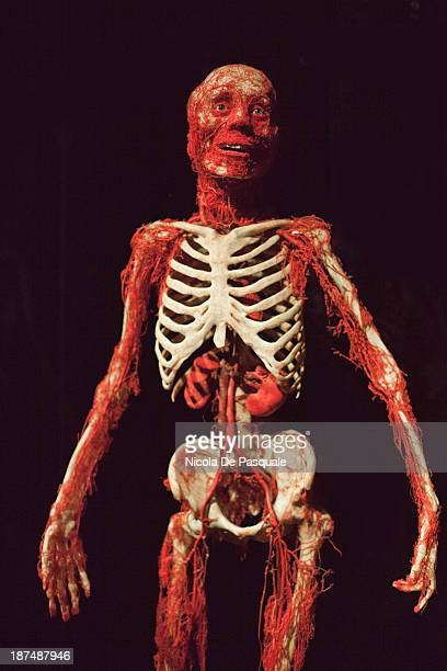 CONTENT] Plastinated human body on display at 'Body Worlds' the anatomical exhibition of real human bodies by German anatomist Gunther von Hagens in...