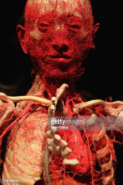 Plastinated human corpse showing only its bones and blood circulation system and with a portion of its ribs cut away to reveal the heart stands on...