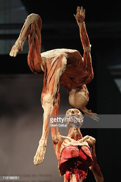 Plastinated human corpses posed to look like figure skaters stand on display at the Body Worlds exhibition on April 26 2011 in Berlin Germany The...