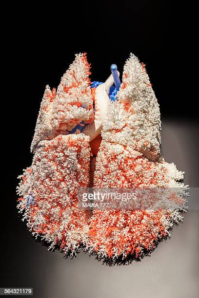 plastinated human lung - body worlds stock pictures, royalty-free photos & images