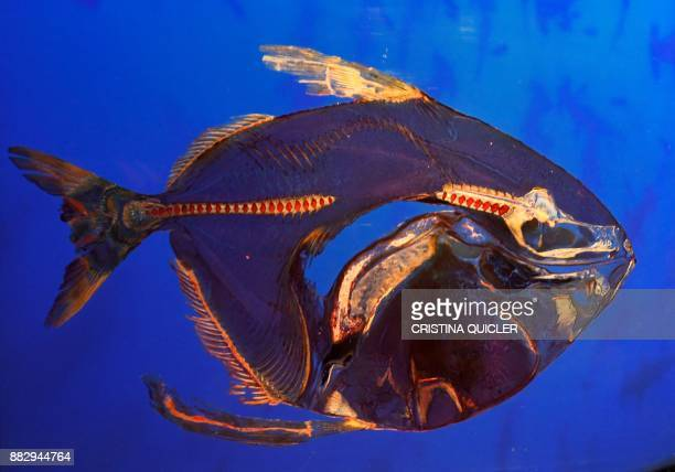 A plastinated moon fish is on display at the 'Casino de la Exposicion' cultural center in Seville on November 30 on the eve of the opening of the...
