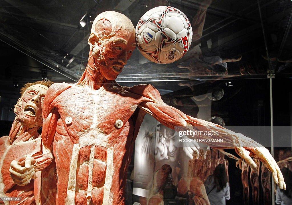 A plastinated 'soccer player' sculpture is pictured during the presentation of the exhibition 'Koerperwelten - eine Herzenssache' (Body worlds - a heart issue) by German 'plastinator' Gunther von Hagens on April 23, 2010 in Bremen, northern Germany.