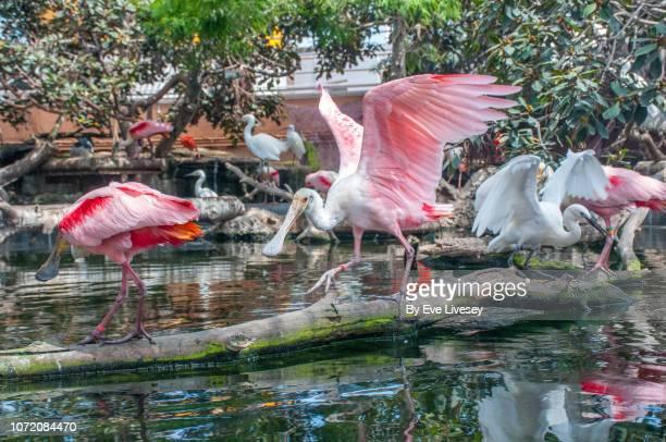 Platalea Ajaja Bird