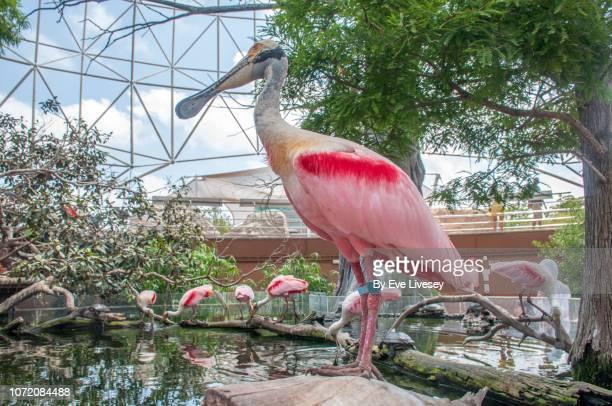 Platalea Ajaja Birds