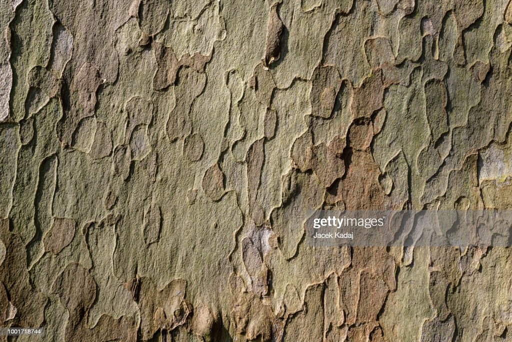 Platan tree : Stock Photo