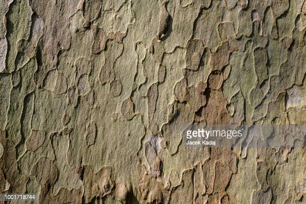 platan tree - disguise stock pictures, royalty-free photos & images