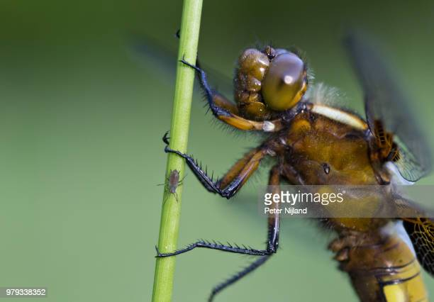 platbuik (Libellula depressa)