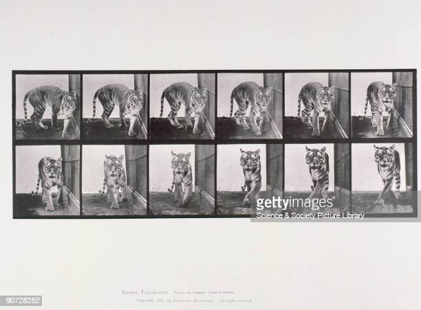 Plate 730 from Muybridge's 'Animal Locomotion' Eadweard Muybridge was the first photographer to carry out the analysis of movement by sequence...