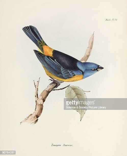 Plate after John Gould from 'The Zoology of the Voyage of HMS Beagle' published in London 18391843 and edited by the British originator of...