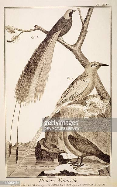 Plate showing various bird specimens 1 bird of paradise 2 tropicbird 3 hooded crow Engraving from Denis Diderot Jean Baptiste Le Rond d'Alembert...