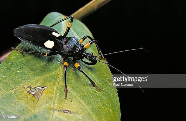 platymeris biguttatus (assassin bug) - assassin bug stock pictures, royalty-free photos & images