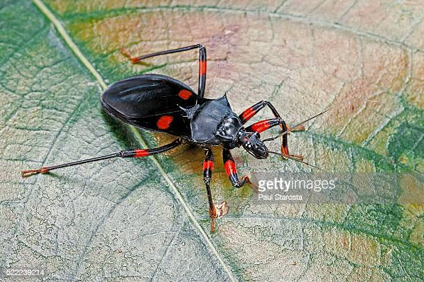platymeris rhadamanthus (red spot assassin bug) - kissing bug stock photos and pictures