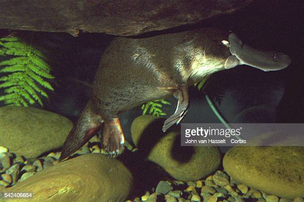 Platypus, Australian animal that gave rise to Syd, one of the three Olympic mascots.