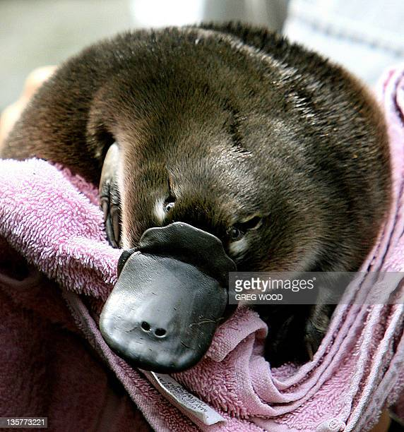 A Platypus baby or 'puggle' is held before being transferred back to it's burrow after emerging for the first time on 16 February 2006 at Sydney's...