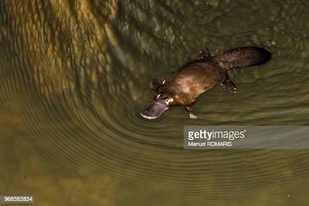 platypus, eungella national park, australia - duck billed platypus stock pictures, royalty-free photos & images