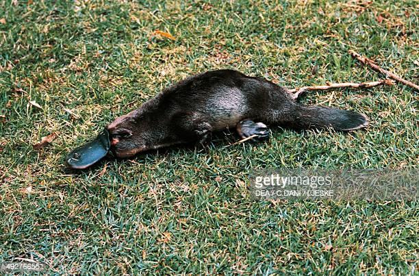 Platypus Ornithorhynchidae