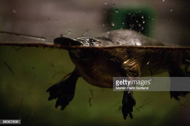platypus - duck billed platypus stock pictures, royalty-free photos & images