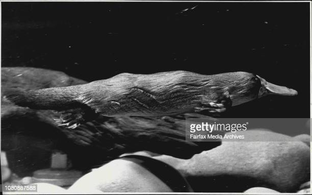 Platypus swimming in the Platypus tank at Taronga Zoo April 21 1988
