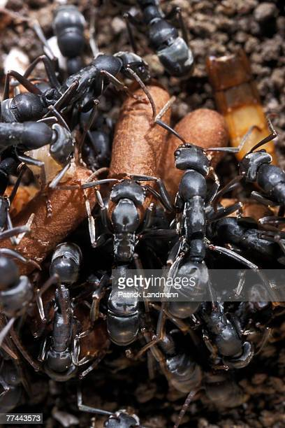 Platythyrea conradati ants completely cover their brood making a shelter to protect it from any danger Platythyrea conradti are deep black coloured...