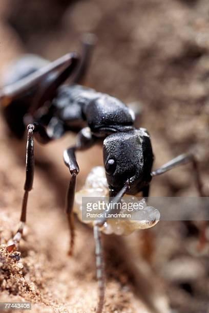 Platythyrea conradati worker with a bundle of eggs between its mandibules Platythyrea conradti are deep black coloured primitive ants They are 15cm...