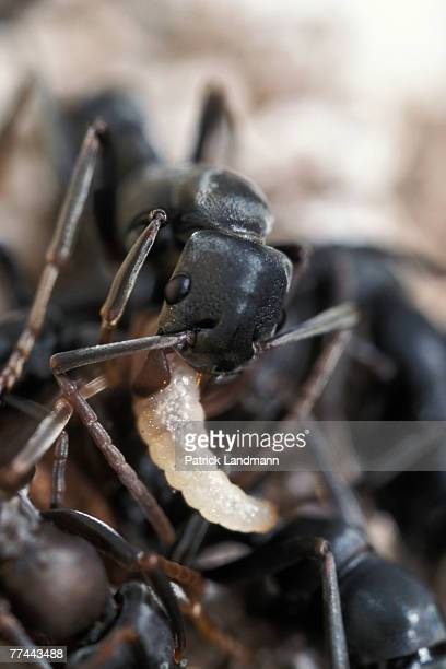 Platythyrea conradati worker with a larva between its mandibules Platythyrea conradti are deep black coloured primitive ants They are 15cm long and...