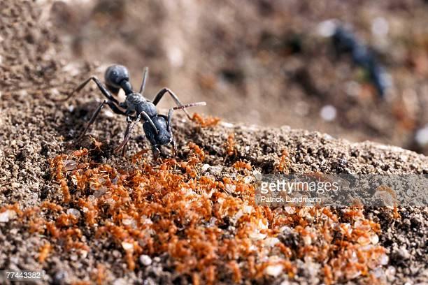 Platythyrea conradti ants tolerate the tiny Pyramica maynei inside the same hollow branch where both have their nests Platythyrea conradti and...