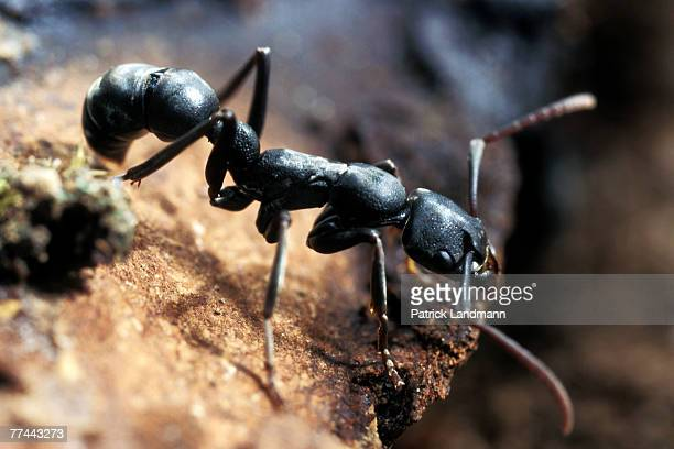 Platythyrea conradti are deep black coloured primitive ants They are 15cm long and still have a sting and venom sac originating from an ancestral...