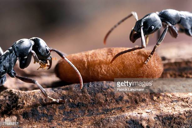 Platythyrea conradti workers in the nest taking care of their cocoons They are primitive ants and their nymphs produce silk at the last stage to...